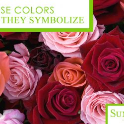 Rose Colors and What they Symbolize